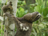 Brown-Throated Three-Toed Sloth (Bradypus Variegatus), Amacayacu National Park, Colombia Photographic Print by Thomas Marent