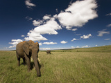 African Elephant (Loxodonta Africana) Walking in the Grasses of the Masai Mara Game Reserve, Kenya Photographic Print by Joe McDonald