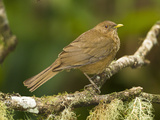 Clay-Colored Thrush (Turdus Grayi) Perched on Tree Limb, Costa Rica Photographic Print by Joe McDonald