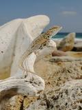 Abdel Kuri Rock Gecko (Pristurus Abdelkuri) Basking on Marine Fossils Photographic Print by Fabio Pupin