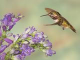 Calliope Hummingbird (Stellula Calliope) Male Flying Photographic Print by Jack Milchanowski