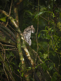 Oncilla or Tiger Cat in Tree Hunting Birds (Leopardus Tigrinus), Arenal, Costa Rica Photographic Print by Mary Ann McDonald