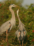 Great Blue Heron Pair Courtship with the Male Giving a Twig to its Female Mate Photographic Print by Arthur Morris