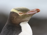 Yellow-Eyed Penguin Juvenile Head (Megadyptes Antipodes) Photographic Print by Richard Roscoe