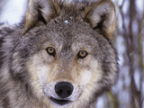 Gray Wolf (Canis Lupus) Montana, USA Photographic Print by Louise Murray