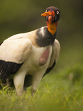 King Vulture (Sarcoramphus Papa), Costa Rica Photographic Print by Mary Ann McDonald