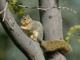 Fox Squirrel (Sciurus Niger) Eating a Nut, Montana, USA Photographic Print by Neal Mischler