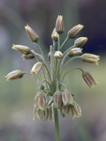 Ornamental Onion (Nectaroscordum Siculum) Photographic Print by Phillip Smith