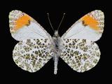 Male Adult Sara's Orangetip Butterfly (Anthocharis Sara) Photographic Print by Jeffrey Miller