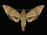 Adult Stage of the Moth (Pachylioides Resumens) Cryptic, Drab Brown, Hawkmoth Photographic Print by Jeffrey Miller