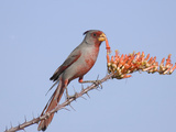 Pyrrhuloxia (Cardinalis Sinuatus) Eats Ocotillo Blossom Photographic Print by Steve Maslowski