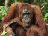 Female Borneo Orangutan (Pongo Pygmaeus), Camp Leaky, Tanjung Puting National Park, Kalimantan Photographic Print by Thomas Marent