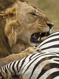 African Lion (Panthera Leo) with a Fresh Zebra Kill in the Masai Mara, Kenya Photographic Print by Joe McDonald