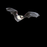 California Myotis Bat (Myotis Californicus) Flying at Night, Southwestern USA Photographic Print by Joe McDonald
