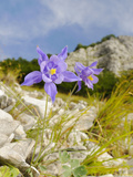 Columbine (Aquilegia Bertoloni), Endemic to the Apuane Alps Area of the Apennines, Italy Photographic Print by Fabio Pupin