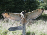 Eurasian Eagle-Owl (Bubo Bubo) Landing on a Fence Post, Europe Photographic Print by Louise Murray