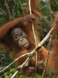 Borneo Orangutan Baby Climbing (Pongo Pygmaeus) Tanjung Puting National Park, Kalimantan Photographic Print by Thomas Marent