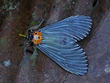 Moth (Arctiidae), Danum Valley Conservation Area, Sabah, Borneo, Malaysia Photographic Print by Thomas Marent