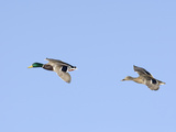 Male and Female Mallard Ducks (Anas Platyrhynchos), Montana, USA Photographic Print by Neal Mischler
