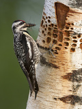 Female Yellow-Bellied Sapsucker (Sphyrapicus Varius) Gathering Bugs at Sap Wells Photographic Print by Garth McElroy