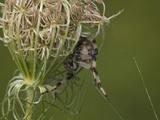 Shamrock Orbweaver Spider (Araneus Trifolium) Photographic Print by Robert Servranckx
