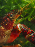 Red Swamp Crayfish Head (Procambarus Clarckii) Photographic Print by Fabio Pupin