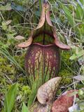 Pitcher Plant (Sarracenia Purpurea) Photographic Print by Robert Servranckx