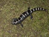 Marbled Salamander, Ambystoma Opacum, Eastern North America Photographic Print by Joe McDonald