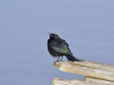 Male Brewer's Blackbird (Euphagus Cyanocephalus) Courtship Behavior, Oregon, USA Photographie par Robert & Jean Pollock