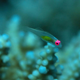 The Tiny Redeyed Goby (Bryaninops Natans) Photographic Print by Louise Murray