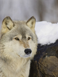 Gray Wolf (Canis Lupus), Northern Minnesota, USA Photographic Print by Jack Milchanowski