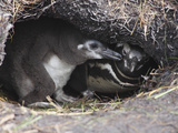 Magellanic Penguins (Spheniscus Magellanicus) in Nest Burrow, Gypsy Cove, Falkland Islands Photographic Print by Richard Roscoe