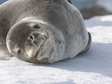Leopard Seal Resting on Ice (Hydrurga Leptonyx) Photographic Print by Louise Murray