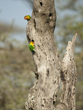 Fischer's Lovebird (Agapornis Fischeri), Seregenti National Park, Tanzania Reproduction photographique par Mary Ann McDonald