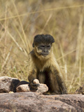 Brown Capuchin (Cebus Apella) Trying to Break Nuts with a Rock, Piaui, Brazil Photographic Print by Mary Ann McDonald