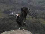 Male Andean Condor (Vultur Gryphus), Puracâ» Nationalpark, Department of Cauca, Colombia Reproduction photographique par Thomas Marent