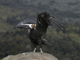 Male Andean Condor (Vultur Gryphus), Puracâ» Nationalpark, Department of Cauca, Colombia Photographic Print by Thomas Marent