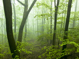 Deciduous Forest in Fog, Pennsylvania, USA Photographic Print by Joe McDonald