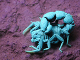 Scorpion under Uv Light (Orthochirus Bicolor), Socotra (Compare with 3034377 under Normal Light) Photographic Print by Fabio Pupin