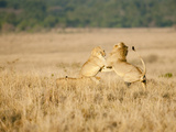 Male African Lion (Panthera Leo) Playing in the Masai Mara Game Reserve, Kenya Photographic Print by Joe McDonald