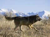 Gray Wolf (Canis Lupus) Running, Wyoming, USA Photographic Print by Joe McDonald