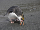 Royal Penguin (Eudyptes Schlegeli) Collecting a Stone, Macquarie Island Photographic Print by Richard Roscoe