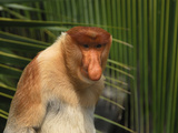 Male Proboscis Monkey Face (Nasalis Larvatus), Sabah, Borneo, Malaysia Photographic Print by Thomas Marent