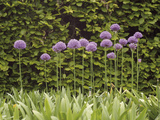 Purple Sensation Onion (Allium Hollandicum) Photographic Print by Phillip Smith