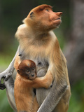 Proboscis Monkey Female with its Baby (Nasalis Larvatus), Sabah, Borneo, Malaysia Photographic Print by Thomas Marent