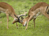 Impala, (Aepyceros Melampus) Bucks Fighting, Masai Mara Game Reserve, Kenya Photographic Print by Joe McDonald