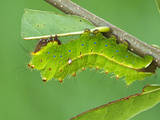 Silkmoth Caterpillar, Fifth Instar (Antheraea Frithi), China Photographic Print by Leroy Simon