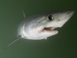 Porbeagle Shark (Lamna Nasus), Bay of Fundy, New Brunswick, Canada, Atlantic Ocean Photographic Print by Andy Murch