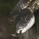 Snake Extending its Forked Tongue Photographic Print by Gerold & Cynthia Merker