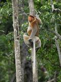 Male Proboscis Monkey (Nasalis Larvatus), Sabah, Borneo, Malaysia Photographic Print by Thomas Marent